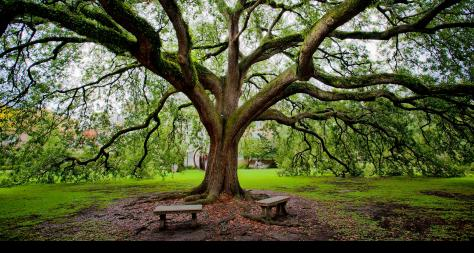 Photo of Large Tree with Benches Beneath - The Murphy Institute